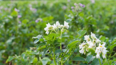 Growing potatoes on a garden bed, green leaves of potato with inflorescence, organic natural vegetables