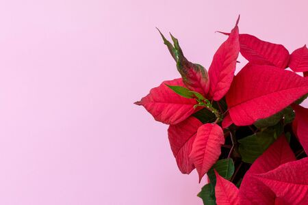 Top view on the poinsettia on pink background, also known as Christmas Flowe, Christmas floral decoration, red and green foliage