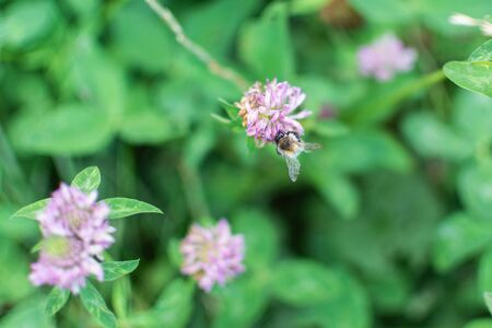 Bumblebee collects nectar in a clover flower
