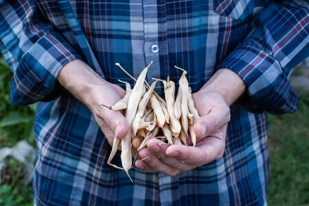Farmer holds a fresh crop bean pods in his hands, organic vegetables from the garden
