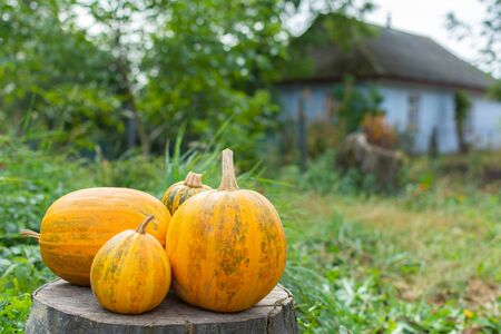 Orange ripened pumpkins lies on a tree stump, fresh organic vegetables from the garden Stock Photo
