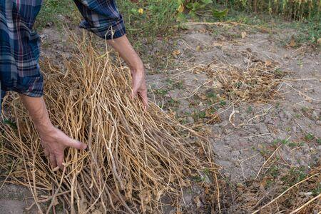 Farmer removes dry bean pods, autumn garden cleaning