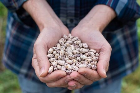 Farmer holding a fresh harvest of white beans