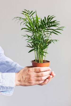Beautiful green indoor dypsis flower in a pot in male hands on a white wall background Stockfoto