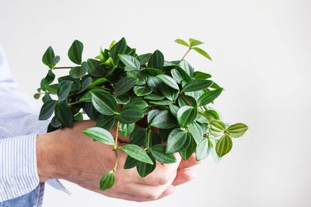 Beautiful green indoor flower in a pot in male hands on a white wall background Stockfoto