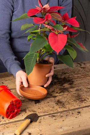 Process of transplanting a home flower Poinsettia into a clay pot, Christmas flower on a wooden table, woman gardener transplants houseplant