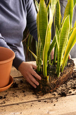 Process of transplanting a home flower Sansevieria into a clay pot, snake plants on a wooden table, woman gardener transplants houseplant