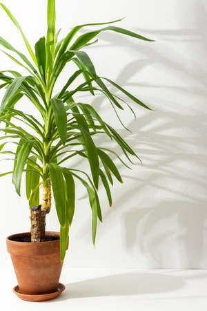 Houseplant Yucca close-up on a white table against a white wall, the shadow of a flower on the wall, biophilic design