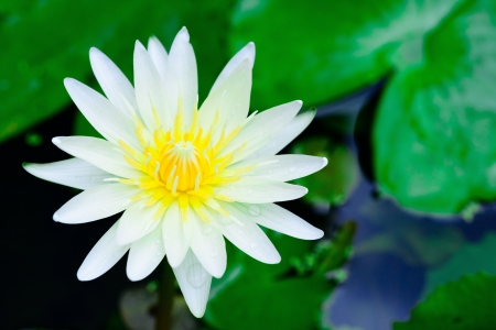 SINGLE WHITE LOTUS WITH YELLOW POLLEN IN THE POOL photo