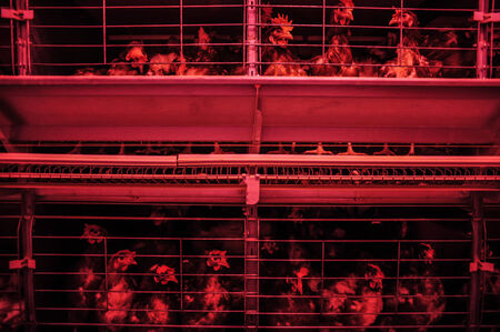 caged: Caged chicken on a farm.