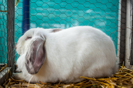 rabbit in cage: Colour picture of a white rabbit in a cage