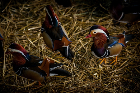 wildfowl: Colour horizontal picture of domestic ducks in an enclosure Stock Photo
