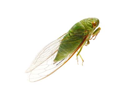 cicada bug: Green cicada