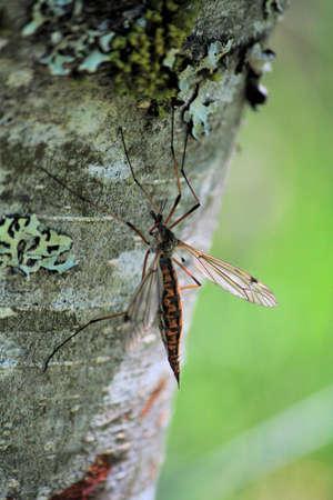 tipulidae: Crane fly on tree