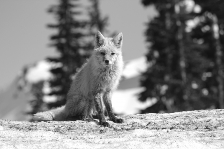 Cascade Fox on snow photo