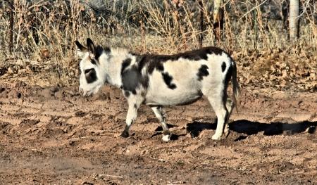 penned: Miniature donkey