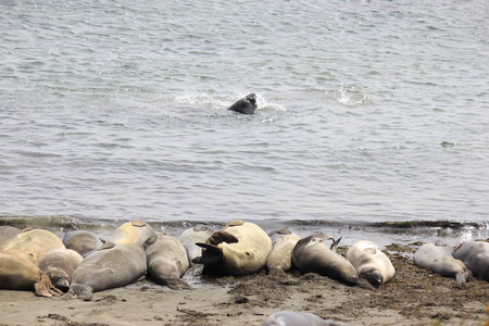 basking: Elephant Seals on beach Stock Photo