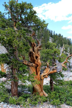 ristlecone Pines at Great Basin National Park photo