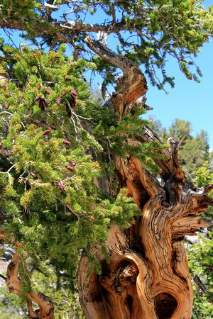 Bristlecone Pines at Great Basin National Park Stok Fotoğraf