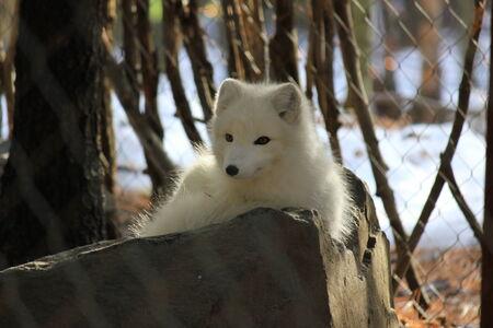 Arctic fox resting on a rock