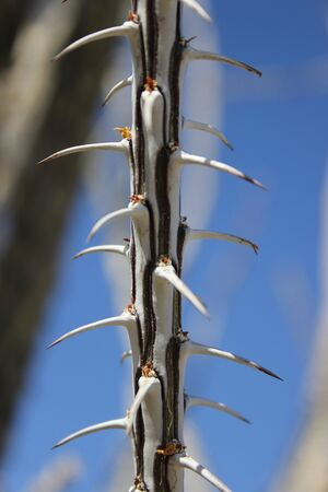 ocotillo: Thorny stalk of an Ocotillo plant in the desert Stock Photo