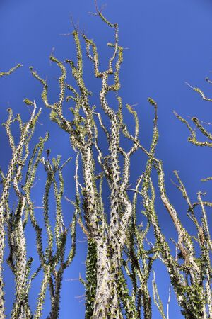 ocotillo: Ocotillo plant in the Sonoran Desert