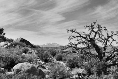 sonora: Dead Juniper in the desert