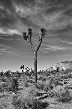 sonora: Black and white of Joshua Trees Stock Photo