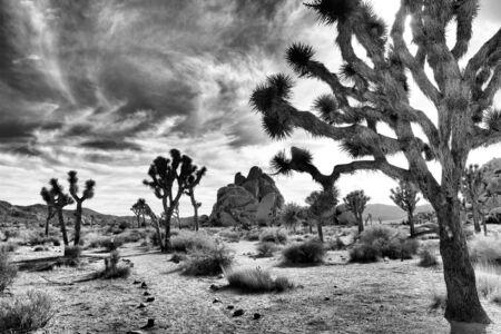 joshua: Black and white of Joshua Trees Stock Photo