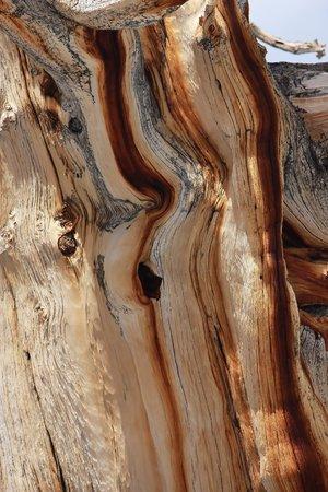 bristlecone: Beautiful bark of a Bristlecone pine