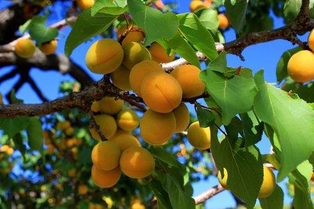 Apricots hanging from a tree Reklamní fotografie