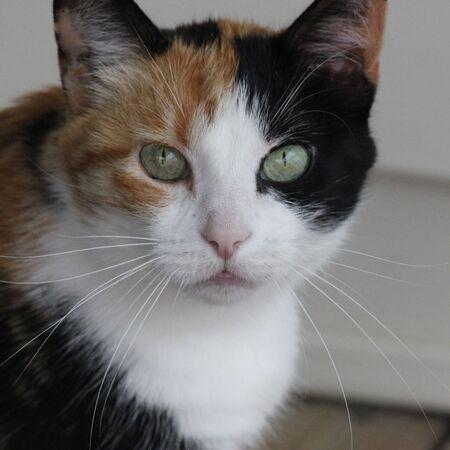 calico cat: Calico cat staring Stock Photo