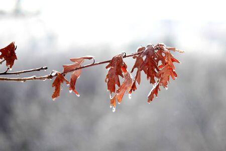겨울에 얼어 죽은 참나무 잎