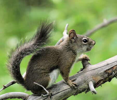perky: Perky squirrel on a branch Stock Photo