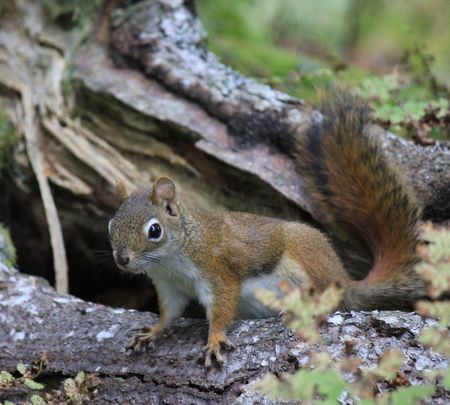 tree dweller: A chattering squirrel Stock Photo