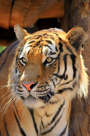 Tiger close up Stock Photo