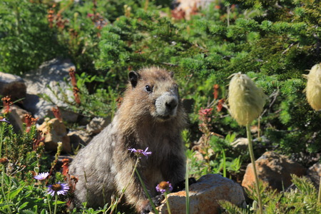 hoary: Hoary Marmot on a rock with flowers