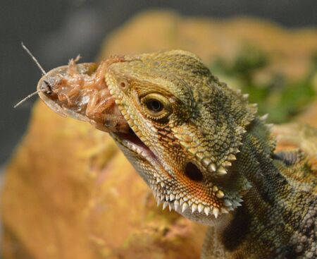 bearded dragon: Bearded Dragon with meal