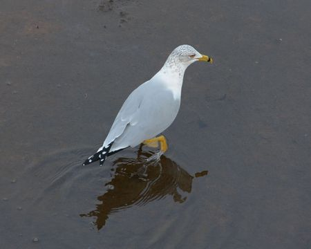 wildfowl: Ring Billed Gull