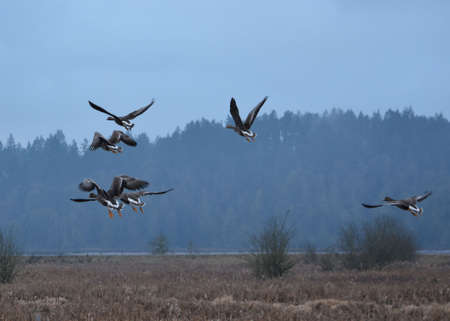 wildfowl: Geese in Flight