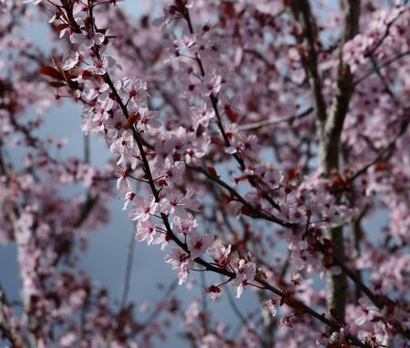 crab apple tree: Pink blossoms in tree