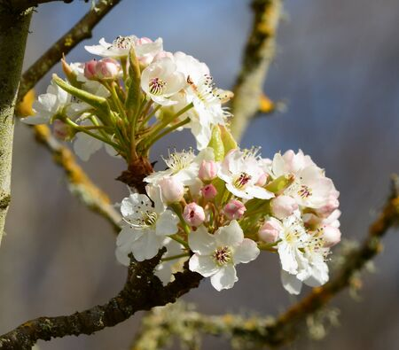 crab apple tree: White Flowers in Springtime