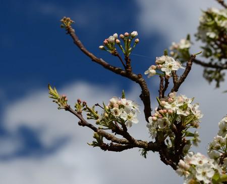 crab apple tree: White Spring Blooms