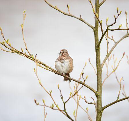 brown: Brown songbird