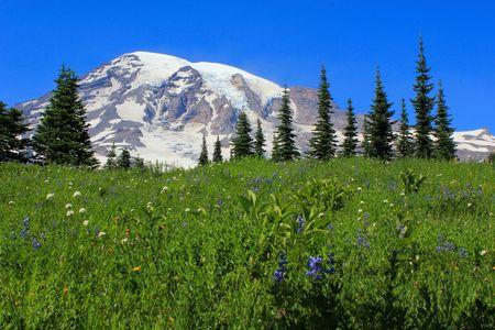 mt rainier: Field of flowers and Mt. Rainier Stock Photo