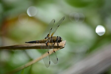 dragon fly: Dragon Fly on stick Stock Photo