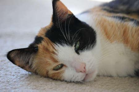 calico cat: Calico cat resting