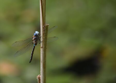 dragon fly: Dragon Fly on reed
