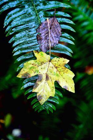 fern with maple leaf on it