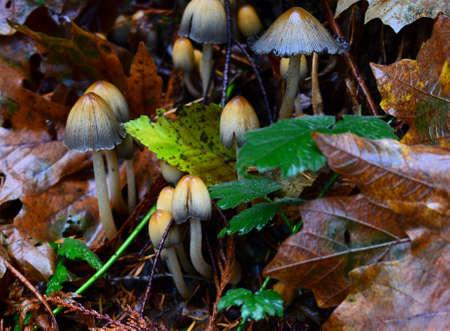 dode bladeren: Paddestoelen groeien door middel van dode bladeren Stockfoto